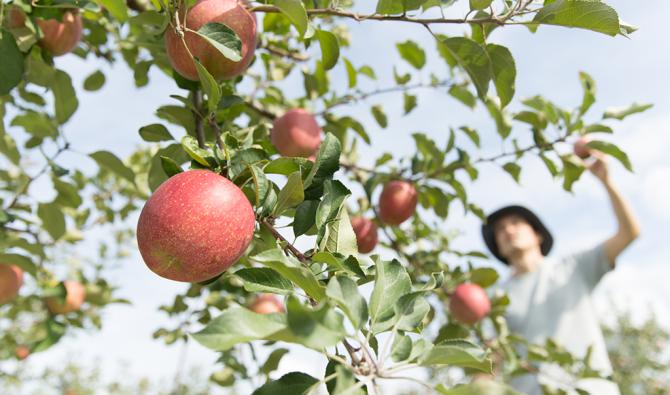 「りんごの葉っぱ取りや収穫」のサムネイル