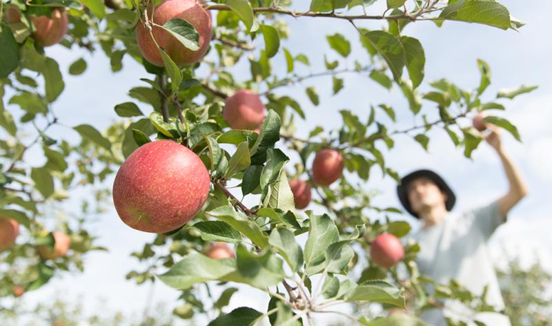 りんごの葉っぱ取りや収穫