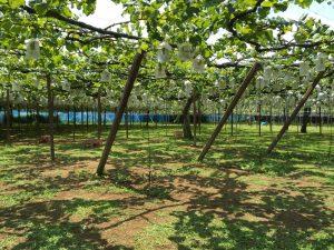 加藤農園 マスカット㉔