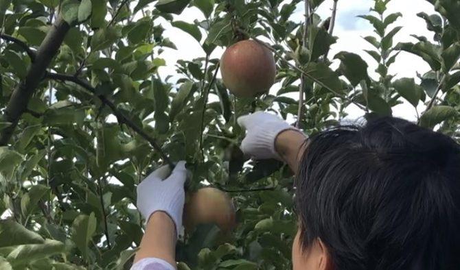 「収穫の手伝い」のサムネイル