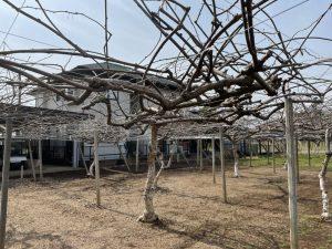 加藤農園 マスカット⑭